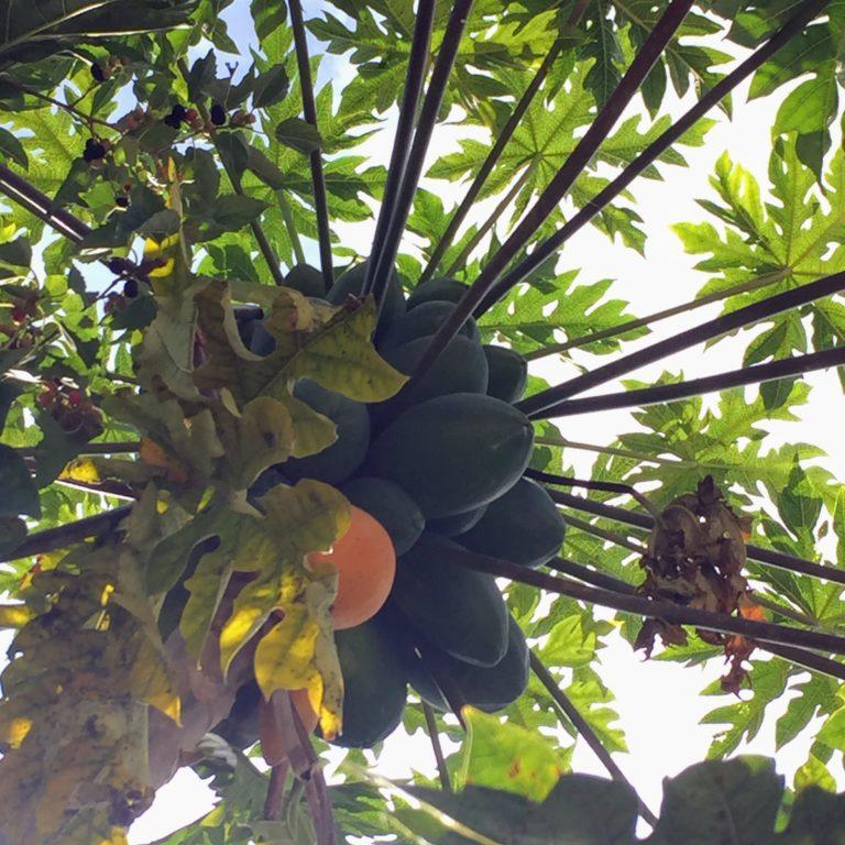 JG - Papaya tree