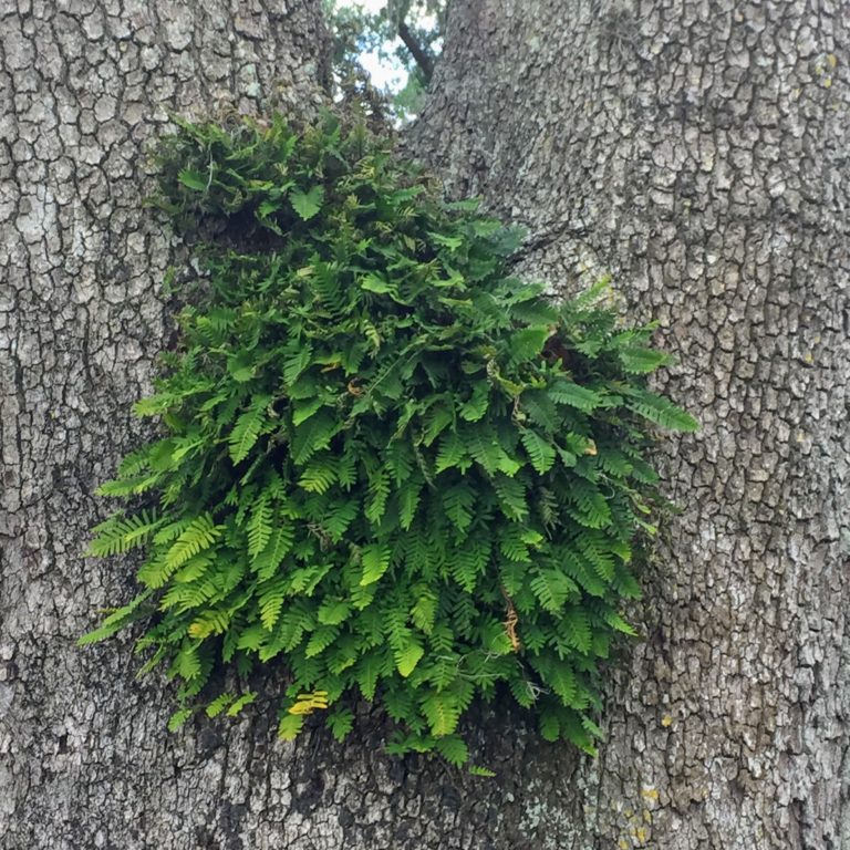 JG - resurrection fern