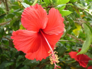 Red_Hibiscus