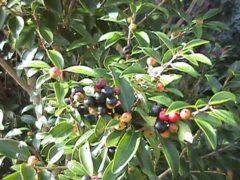White_Stopper berry